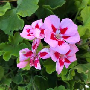 Geranium - Interspecific 'Medium Pink Flame'
