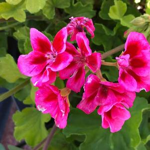Geranium - Interspecific 'Medium Rose Mega Splash'