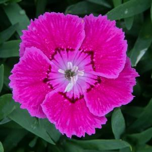 Dianthus 'Rose Bouquet'