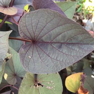 Ipomoea, Sweet Potato 'SolarTower™ Black'