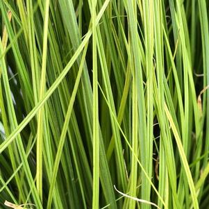 Carex 'Phoenix Green (seed)'
