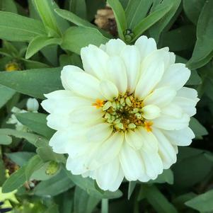 Zinnia Double 'White (seed)'