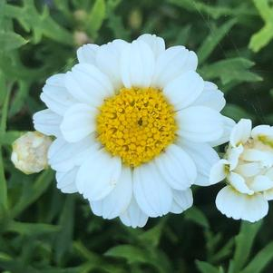 Argyranthemum 'Percussion Perfect White(P)'
