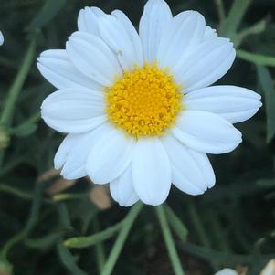 Argyranthemum 'Percussion White(P)'
