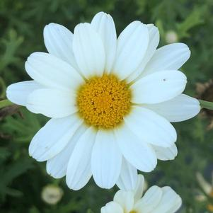 Argyranthemum 'Pure White Butterfly™'