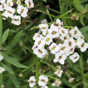 Lobularia 'White Improved'