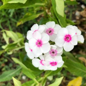 Phlox 'Cherry Cream'