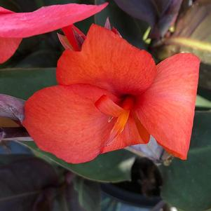 Canna 'Bronze Orange (seed)'