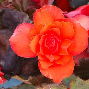 Begonia 'Dark Orange(P)'
