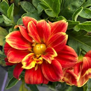 Dahlia 'Medio Fun Orange Flame(P)'