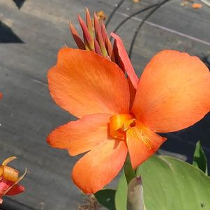 Canna 'Dark Orange'