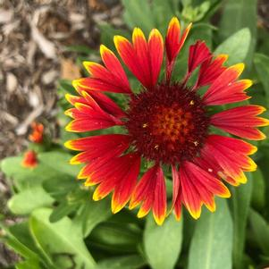 Gaillardia 'Spintop Orange Halo'