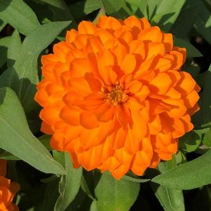 Zinnia Double 'Bright Orange (seed)'