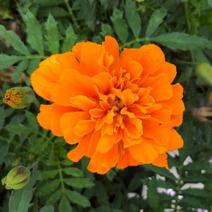 Marigold 'Deep Orange (seed)'