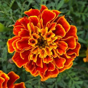 Marigold 'Orange Flame (seed)'