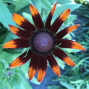 Rudbeckia 'Happy'