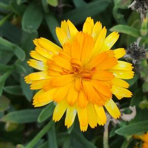 Calendula 'Lady Godiva™ Orange'