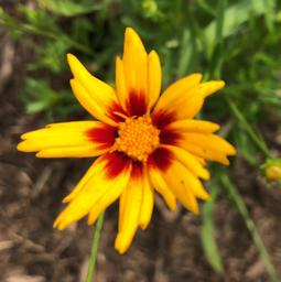 Coreopsis 'Big Bang Sun Splash'