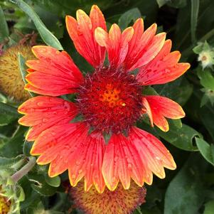 Gaillardia 'Spintop Yellow Touch'