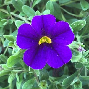 Calibrachoa 'Midnight Blue'