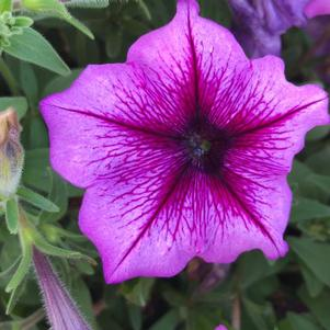 Petunia 'Purple Vein (seed)'