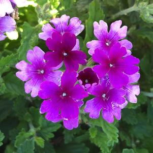 Verbena 'Purple'
