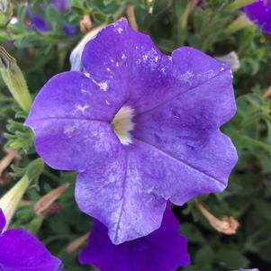 Petunia 'Light Blue'