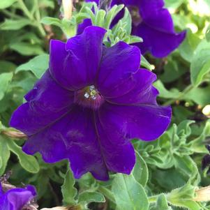 Petunia 'Tea Blue©sr;'