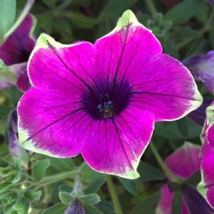 Petunia 'Tea Purple Green Edge(P)'