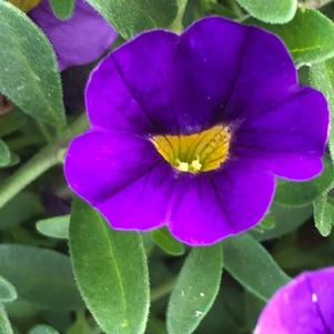 Calibrachoa 'Blue'