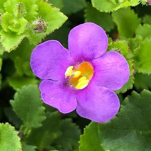 Sutera (Bacopa) 'Dark Blue Imp'