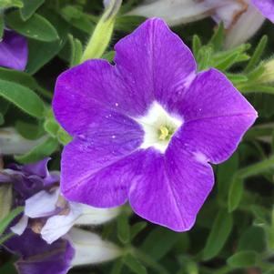 Petunia 'Morning Glory Charm'