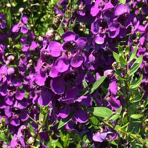 Angelonia 'Dark Purple'