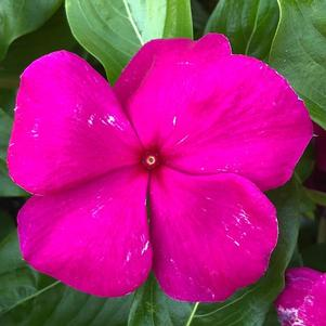 Vinca (Catharanthus) 'Purple'