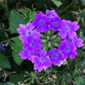 Verbena 'Grape'