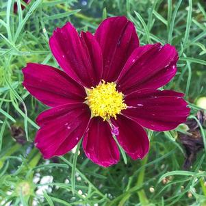 Cosmos 'Sonata™ Purple Shades (seed)'