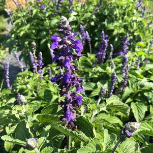 Salvia 'Big Blue (seed)'
