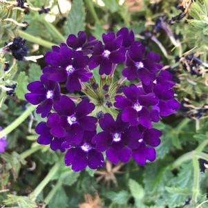 Verbena 'Dark Blue'
