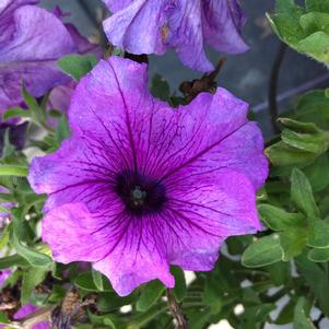 Petunia '360° Purple Vein (seed)'