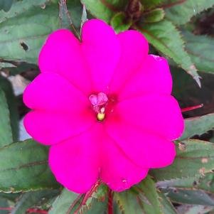 Impatiens - New Guinea 'SunStanding'