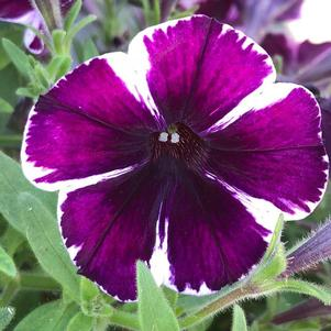 Petunia 'Miss Marvelous'