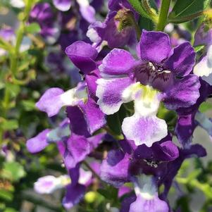 Angelonia 'Wedgwood Blue Imp'