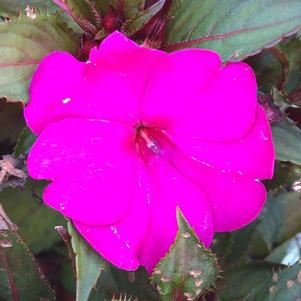 Impatiens - hybrida 'Purple'