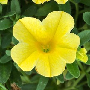 Calibrachoa 'Deep Yellow'
