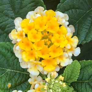 Lantana 'Pot of Gold'