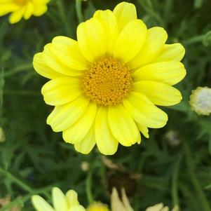 Argyranthemum 'Golden Butterfly™'
