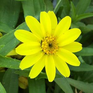 Zinnia 'Lemon (seed)'