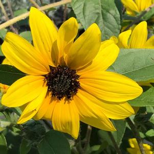 Helianthus hybrida 'Yellow Dark Center'