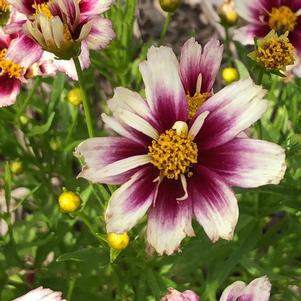 Coreopsis 'Little Bang™ Starstruck'