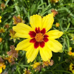 Coreopsis 'Electric Sunshine'